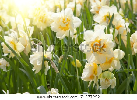 daffodils in the field - stock photo