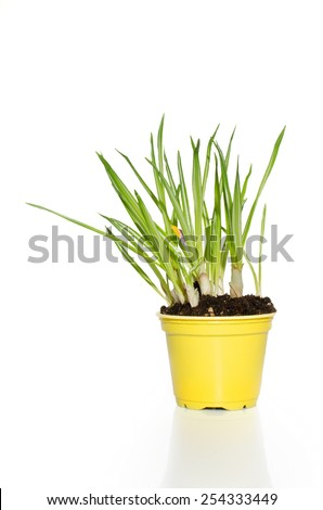 Daffodils in the flowerpot isolated on white background.