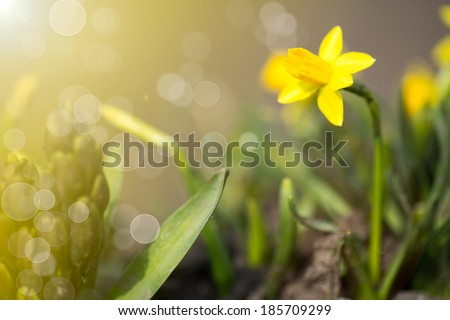 daffodils in the garden under the sun - stock photo