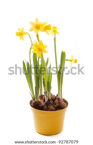 Daffodils in yellow flower pot isolated on white - stock photo