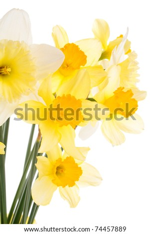 Daffodils isolated on white - stock photo