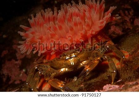 Dahlia anemone and velvet swimming crab - stock photo