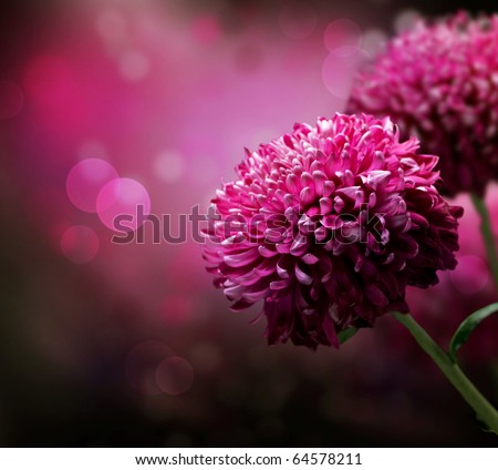 Dahlia Autumn flower design.With copy-space - stock photo