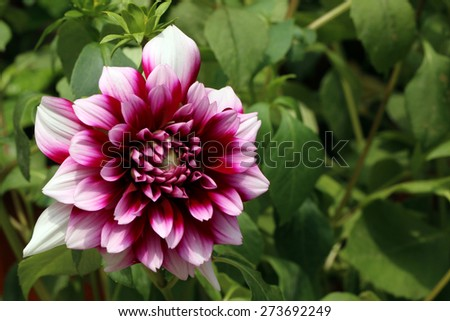 Dahlia blooming (Dahlia x hortensis) - stock photo