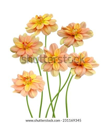 Dahlia. blooming dahlias on a white background  - stock photo