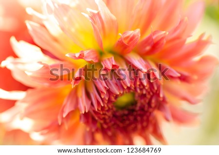 dahlia close up - stock photo