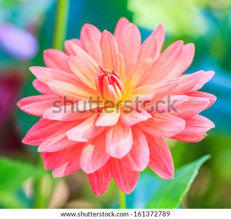 Dahlia colorful flower Orange for background texture - stock photo