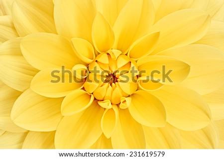 Dahlia, elegant, yellow, colored flower head, studio shooting, depth of field, background - stock photo