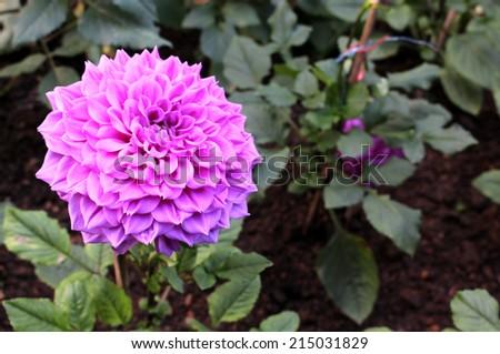Dahlia flower - stock photo