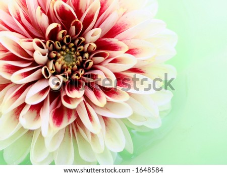 Dahlia flower closeup - stock photo