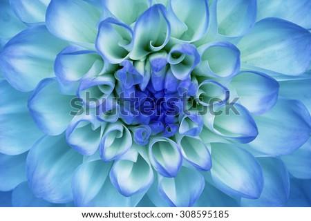 Dahlia flower closeup. Macro. Blue, cyan, aquamarine. - stock photo