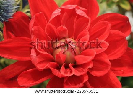 Dahlia flower,closeup of red Dahlia flower in full bloom - stock photo