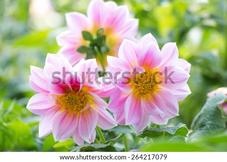 Dahlia flower,closeup of yellow with red dahlia flower in full bloom in the garden - stock photo