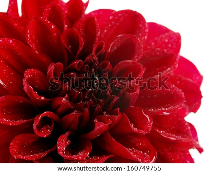 Dahlia flower, isolated on white