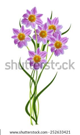 Dahlia flower isolated on white background - stock photo