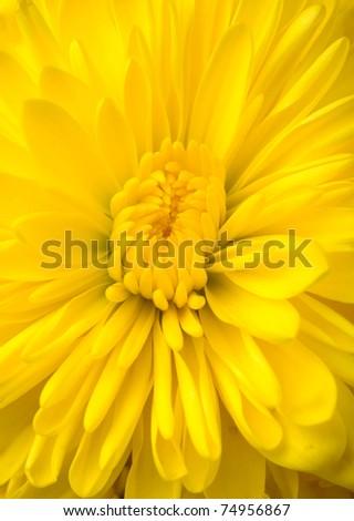 dahlia flower macro studio shot - stock photo