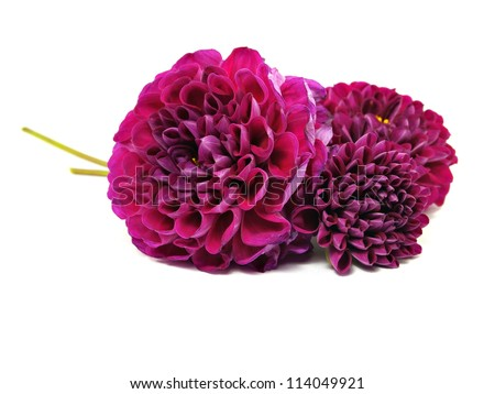 dahlia flower on a white background