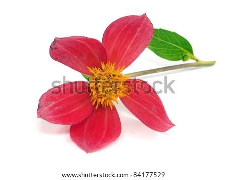dahlia flower on a white background - stock photo