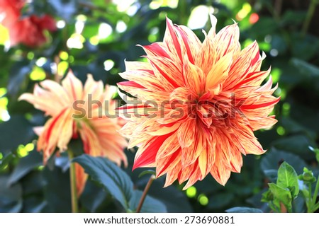 Dahlia flower painting style in the garden - stock photo
