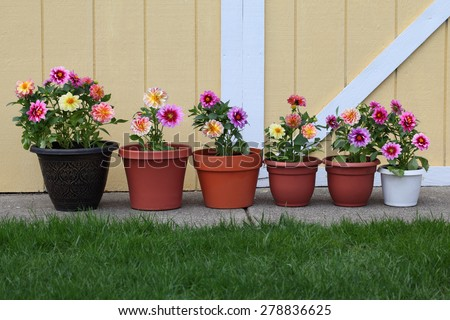 Dahlia flower planter row for natural background - stock photo