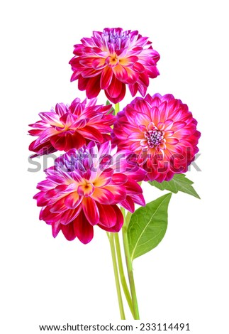 Dahlia flowers a white background - stock photo