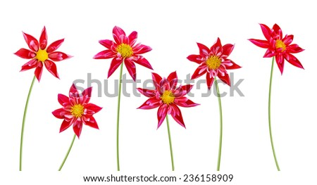 Dahlia flowers a white background  - stock photo