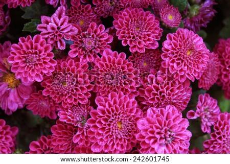 Dahlia flowers,  Abstract background of Dahlia flowers, Beautiful Dahlia flowers with water droplets - stock photo