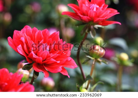 Dahlia flowers and buds,red Dahlia flowers and buds blooming in the garden - stock photo