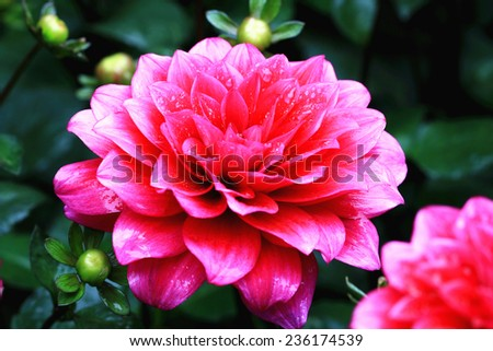 Dahlia flowers and buds,red Dahlia flowers and buds blooming in the garden with raindrop - stock photo