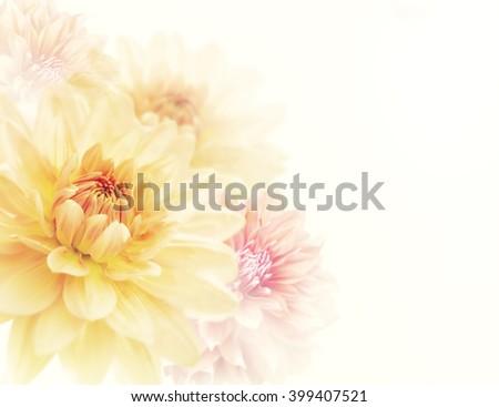 Dahlia Flowers Close Up ,soft focus - stock photo