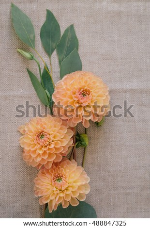 dahlia flowers on a gray background