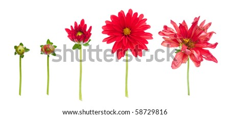 dahlia from bud to dying flower isolated on white