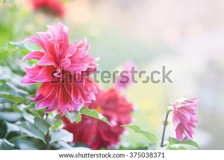 Dahlia in garden with vintage bright light tone from photoshop to express sunshine - stock photo