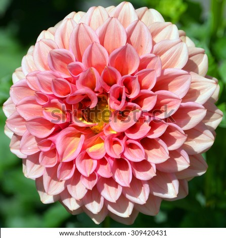 Dahlia is a genus of bushy, tuberous, herbaceous perennial plants native mainly in Mexico. Related species include the sunflower, daisy, chrysanthemum and zinnia  - stock photo