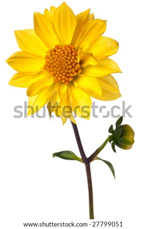 dahlia isolated on a pure white background