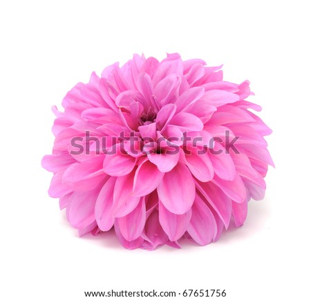 Dahlia Isolated on White Background - stock photo