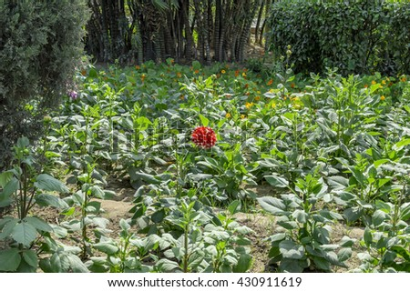 Dahlia plants being grown in open field.