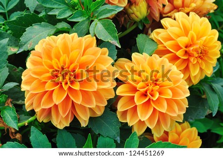 Dahlia spp. - stock photo
