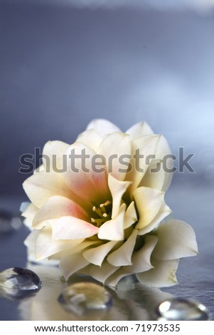 Dahlia, white-yellow flowers with water drops - stock photo