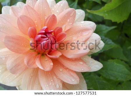 Dahlia with water drops. This beautiful and symbolic flower is native to Central America and the national flower of Mexico - stock photo
