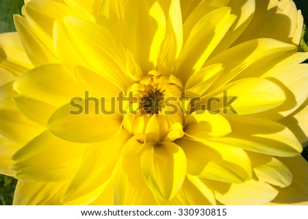 Dahlia yellow closeup