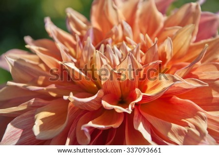 Dahlias in the garden.