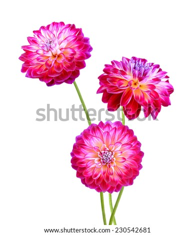 Dahlias on a white background. - stock photo