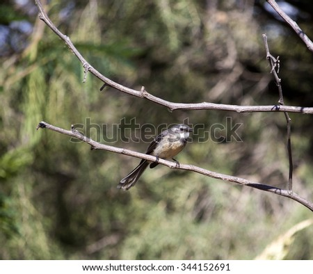Dainty agile little Grey Fantail Rhipidura  albiscapa related to Willie Wagtails perching in a black wattle tree in Big Swamp, Bunbury, Western Australia in autumn is a beautiful sight. - stock photo