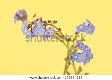 Dainty blue Forget-me-not flowers on contrasting yellow background - stock photo