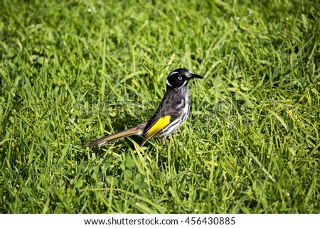 Dainty chirpy  yellow and black striped juvenile  Australian New Holland Honey eater in the fresh green grass  on a sunny morning in winter is a delight to watch.