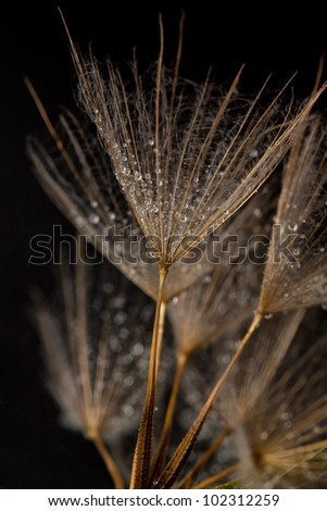 Dainty dandilion seeds with water drops - stock photo