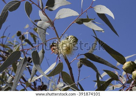 Dainty eucalyptus species Australian gum tree blooming in King's Park, Perth, Western Australia in late winter attracts honey bees and native birds to the sweet scented flowers. - stock photo