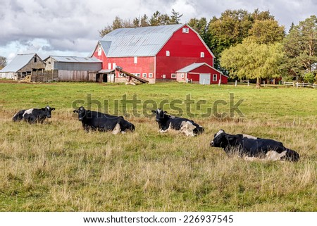 Dairy cattle and a red barn on a farm. - stock photo
