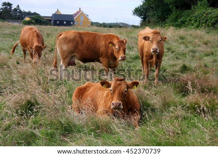 Dairy cattle grassing on Danish island Samsoe - stock photo
